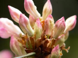 rhododendron-camellia-11