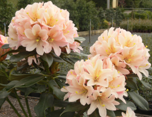 rhododendron-camellia-12