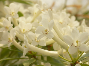 rhododendron-camellia-3