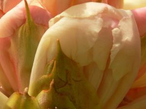 rhododendron-camellia-6
