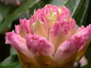 rhododendron-camellia-8